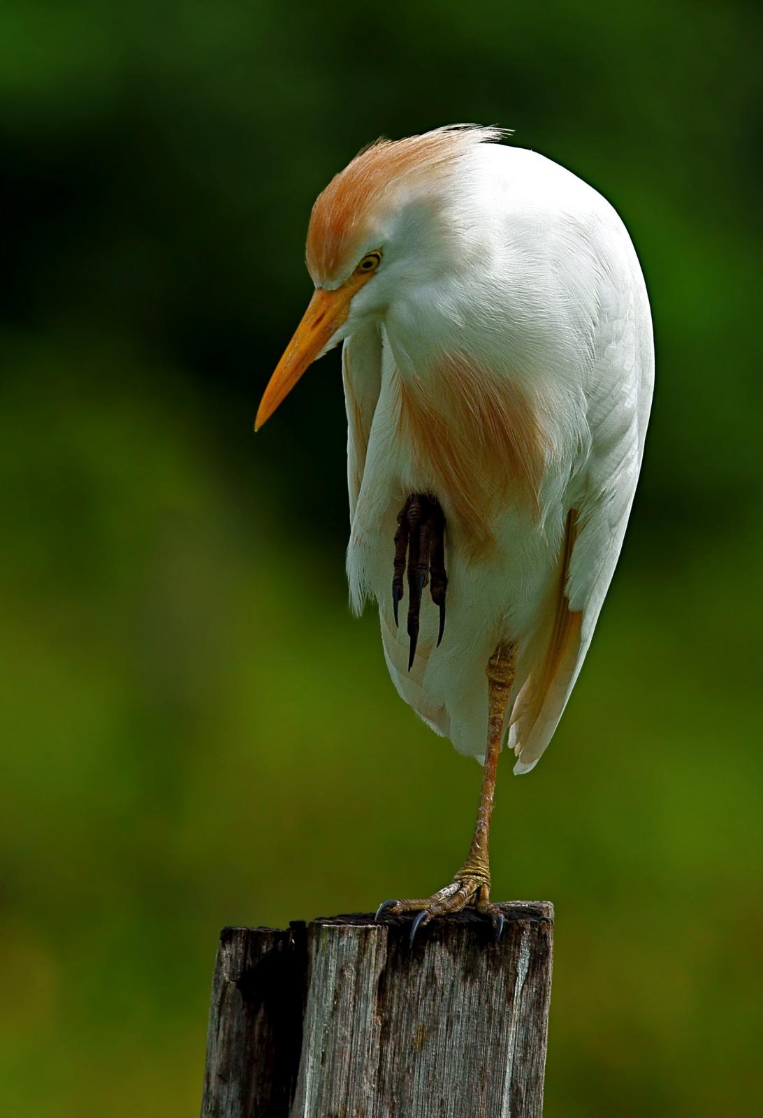 Heron garde-boeufs_MichelGiraud-Audine