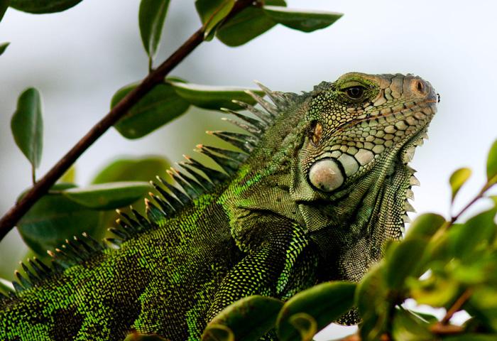 Iguane vert Antoine Baglan