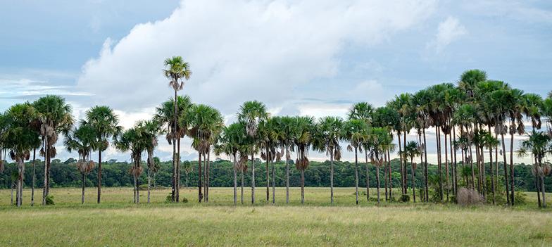 WEB-recadré-ligne-de-palmiers-bache-dans-la-savane-de-trou-poissons-©-Taberlet-F