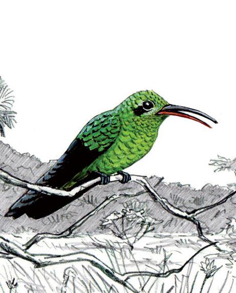 Le Colibri tout-vert