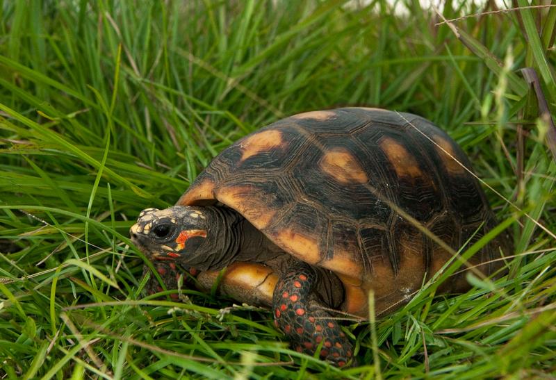 tortue-charbonniere-©-CNES-CSG